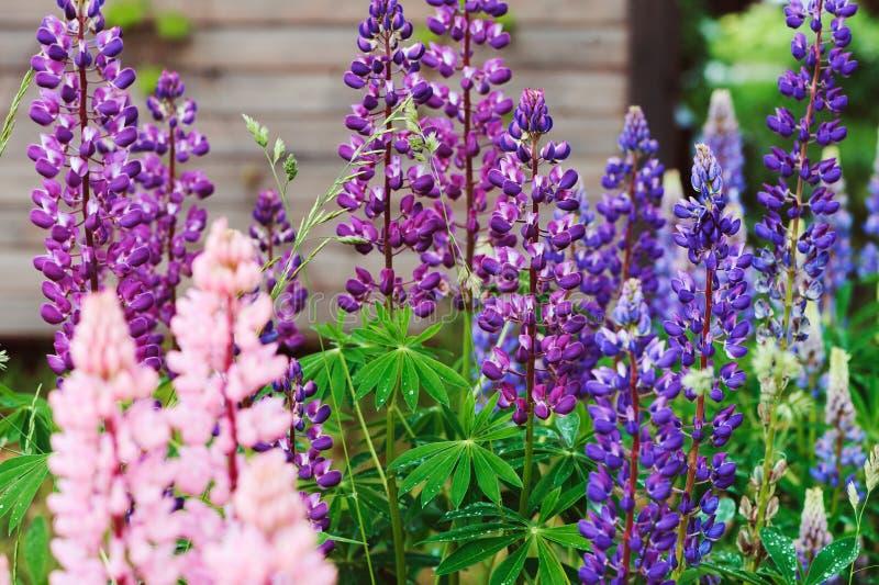 O vário lupine multicolour floresce a florescência no jardim do verão imagem de stock
