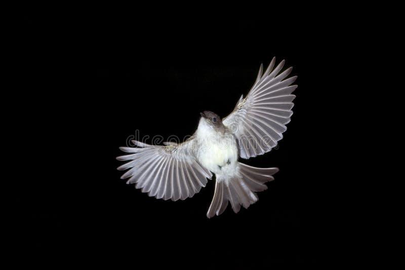 O vôo oriental do phoebe. foto de stock royalty free