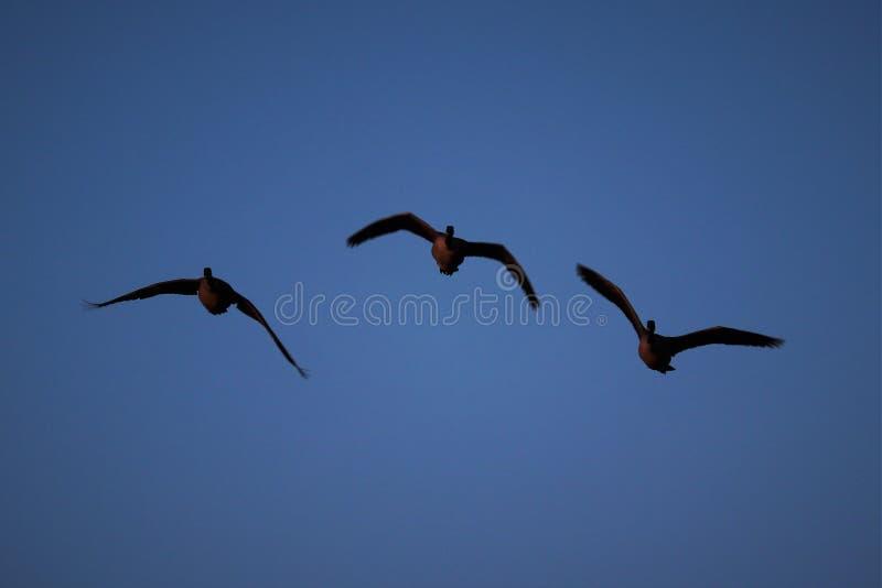 O V de voo pelos gansos imagem de stock