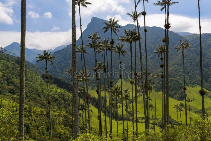O vale cênico de Cocora com as palmeiras da cera de Quindio no primeiro plano, em Colômbia imagem de stock