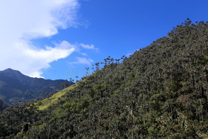 O vale de Cocora uma paisagem encantador elevou-se sobre pelas palmas de cera gigantes famosas Salento, Colômbia foto de stock