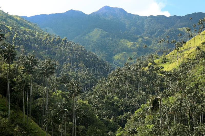 O vale de Cocora uma paisagem encantador elevou-se sobre pelas palmas de cera gigantes famosas Salento, Colômbia fotografia de stock