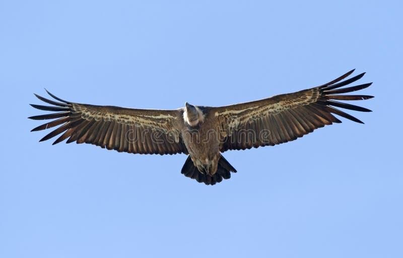 O vale Gier, Griffon Vulture, Gyps o fulvus fotos de stock
