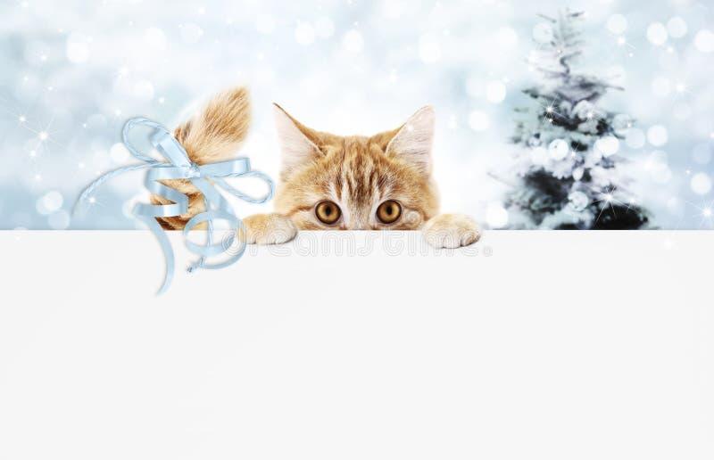 O vale-oferta do gato do gengibre do Natal com árvore e a fita azul curvam-se, co imagens de stock