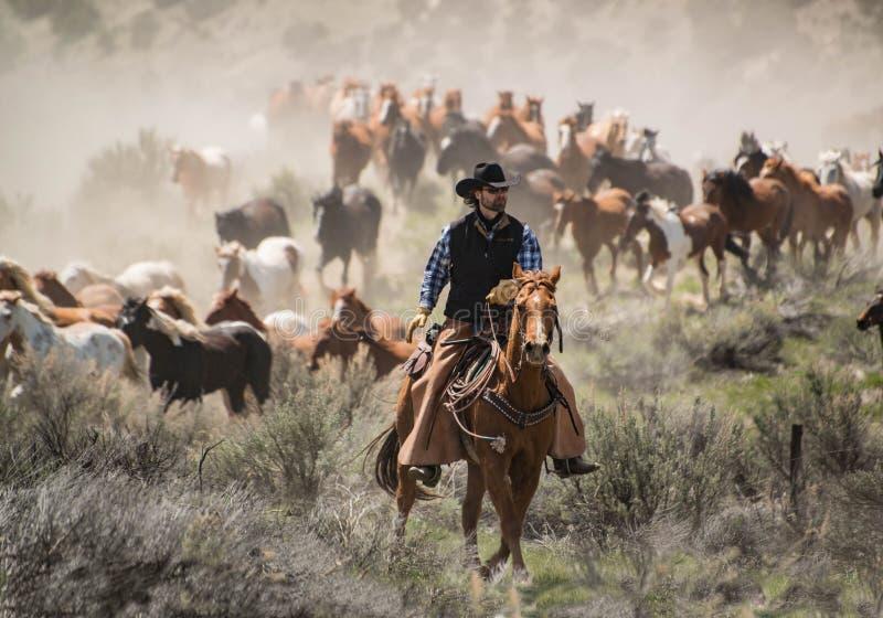 O vaqueiro com o cavalo principal do cavalo do chapéu negro e da azeda reune em um galope imagens de stock