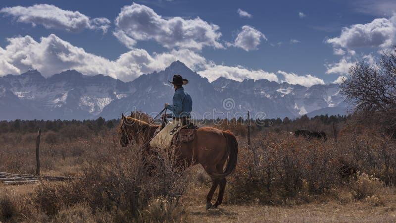 O vaqueiro no gado conduz o recolhimento Angus/vacas e calv transversais de Hereford imagens de stock
