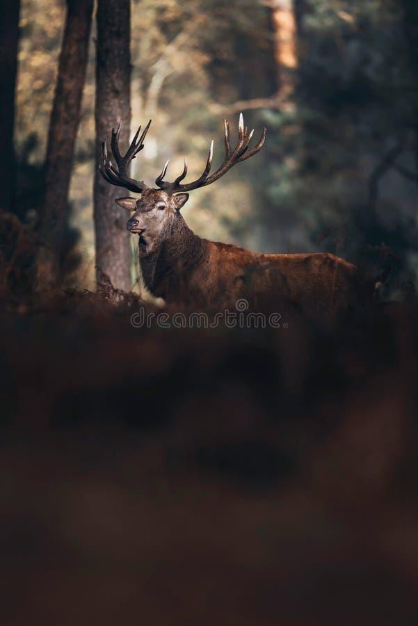 O veado dos veados vermelhos iluminou-se pela luz solar na floresta do outono com samambaias de cor castanha fotos de stock royalty free