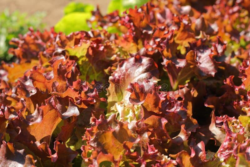 O vegetal esverdeia o close-up fotografia de stock royalty free