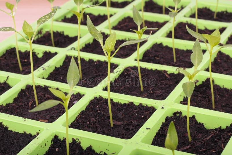 O vegetal semeia o close up da bandeja sobre o branco imagem de stock royalty free