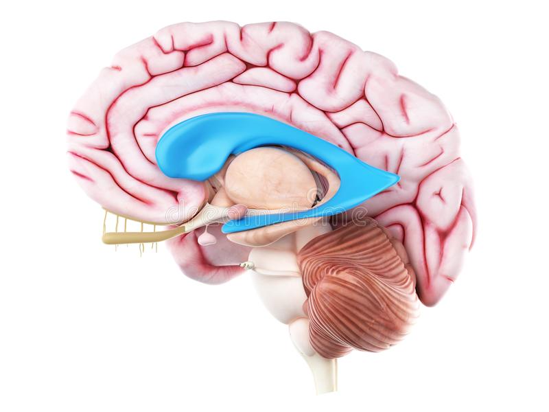O ventrículo lateral ilustração do vetor