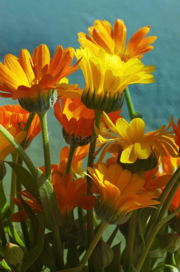 O verão amarelo floresce contra a parede pintada turquesa Ramalhete de um cravo-de-defunto imagem de stock