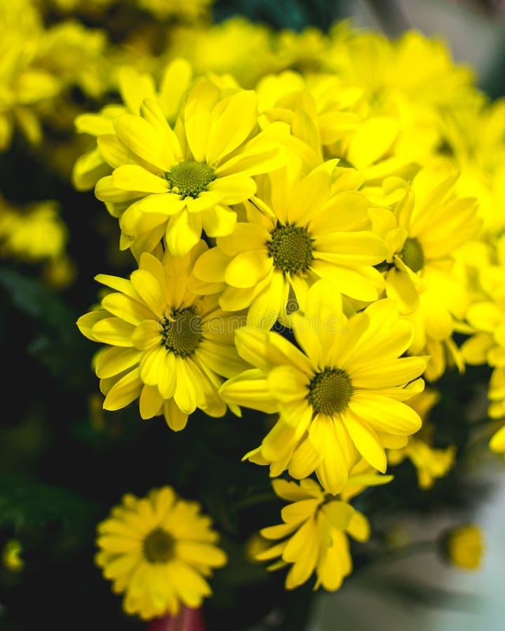 O verão amarelo floresce Margarita Flor romântica imagem de stock