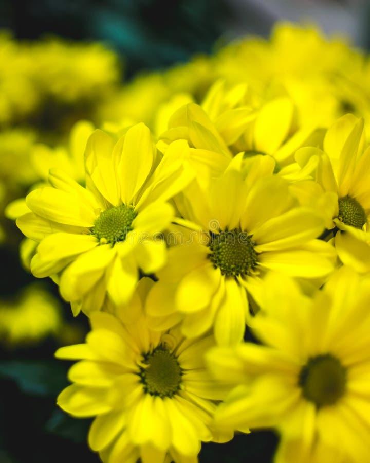 O verão amarelo floresce Margarita Flor romântica fotos de stock