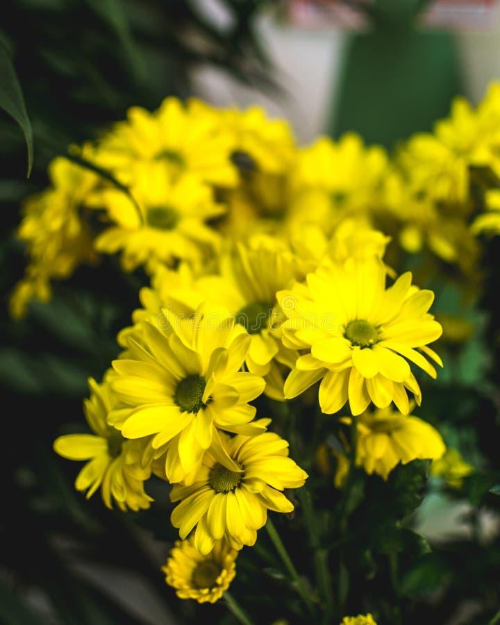 O verão amarelo floresce Margarita Flor romântica fotos de stock royalty free