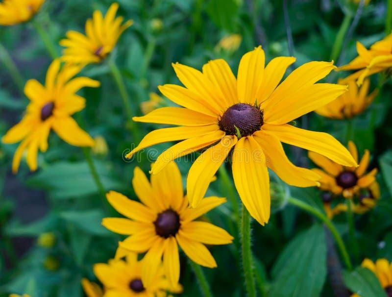 O verão amarelo floresce - o rudbeckia contra um fundo da natureza fotos de stock