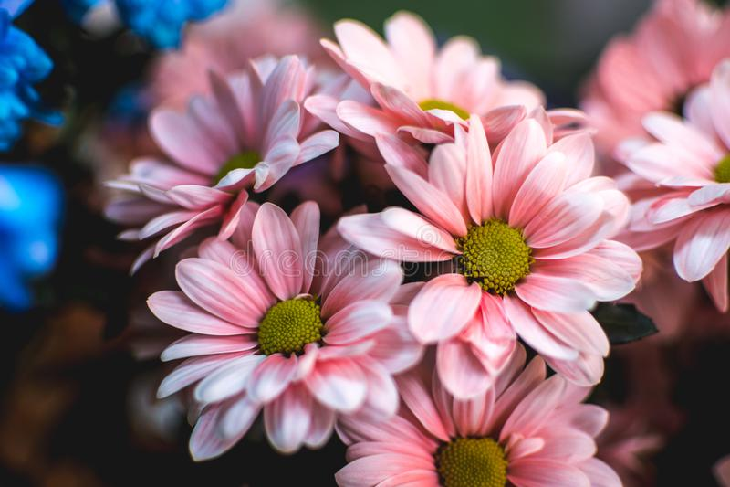 O verão cor-de-rosa floresce Margarita Flor romântica fotos de stock royalty free