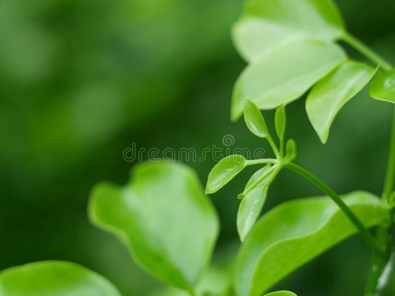 O verde bonito folheia fundo no parque e na textura abstrata para o papel de parede e calmo imagem de stock