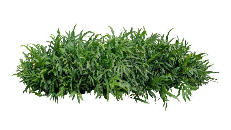 O verde deixa o arbusto tropical da planta da folha da samambaia ou do monarca da verruga foto de stock