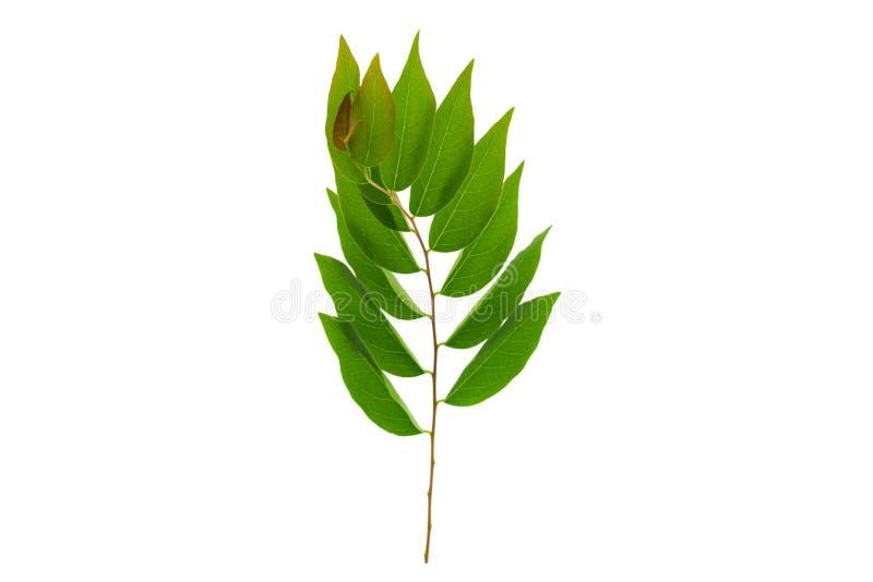 O verde deixa a folha da groselha da estrela isolada no fundo branco foto de stock