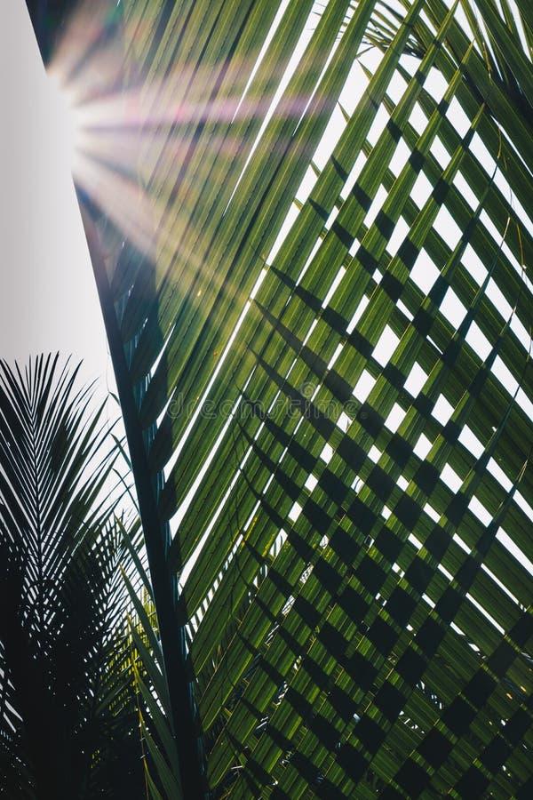O verde deixa o fundo de fruticans do Nypa, conhecido geralmente como a palma de nipa fotografia de stock