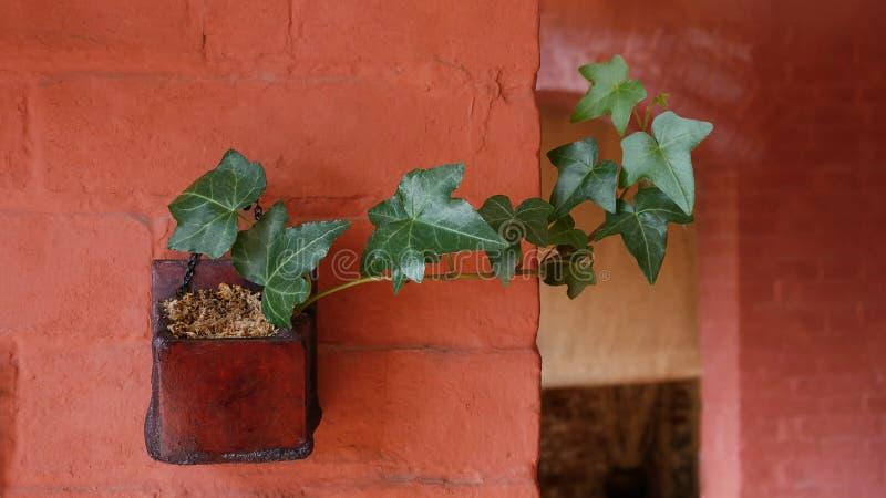 O verde deixa a hera inglesa a videira sempre-verde planta em pasta interna no fundo alaranjado da parede de tijolo da cor foto de stock
