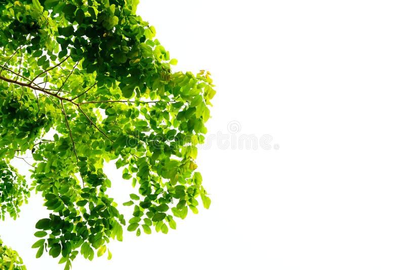O verde deixa a natureza no fundo branco foto de stock