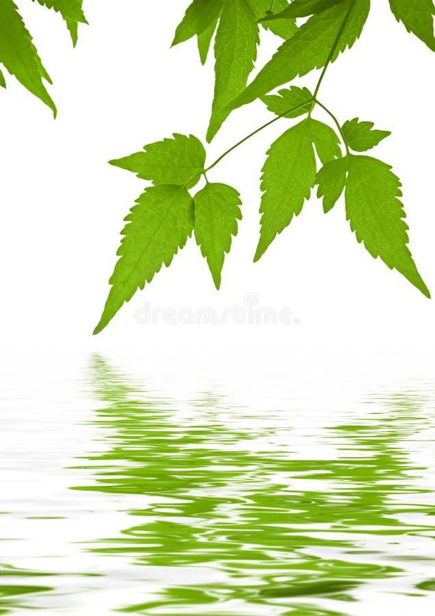 O verde deixa o clematis refletido na água imagem de stock royalty free