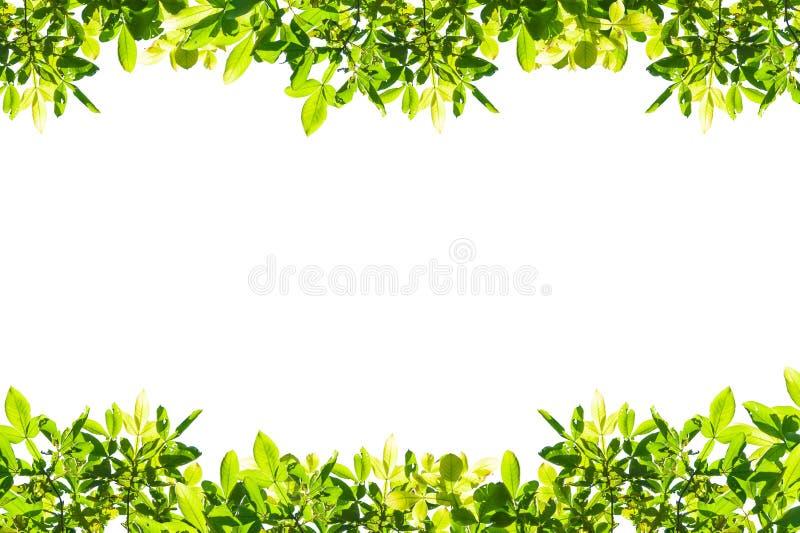 O verde deixa o frame isolado no fundo branco imagens de stock