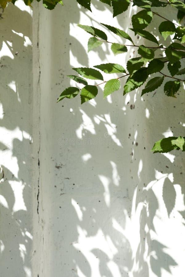 O verde deixa sombras contra uma parede branca que faz um quadro decorativo fotos de stock