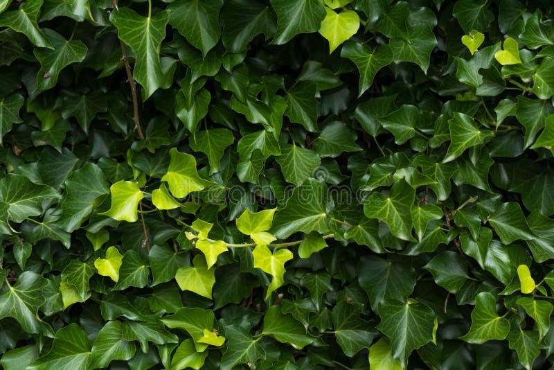 O verde deixa a textura do papel de parede do fundo fotografia de stock