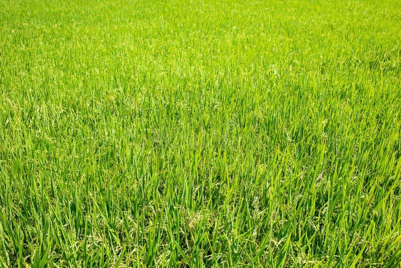 O verde do arroz sae no campo do arroz 'paddy' fotos de stock