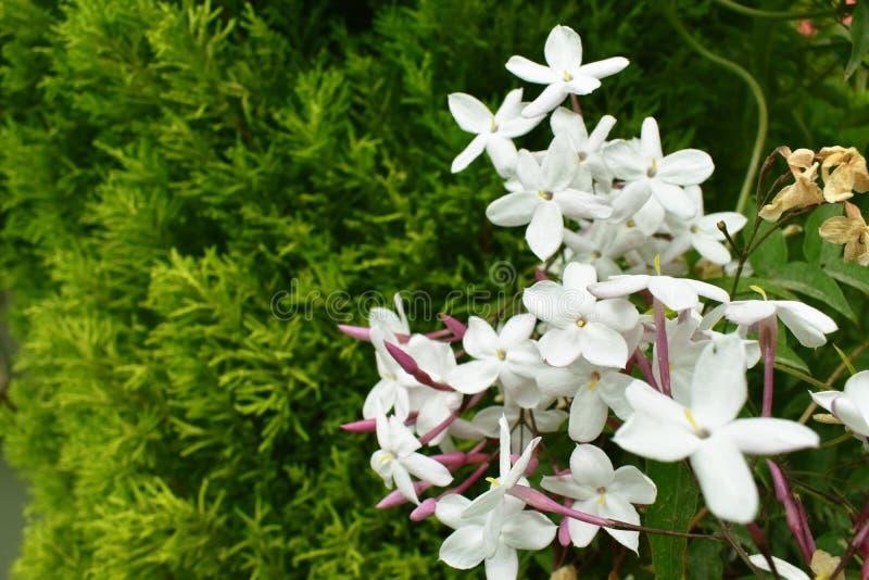 O verde do branco de jardim floresce o close up imagens de stock