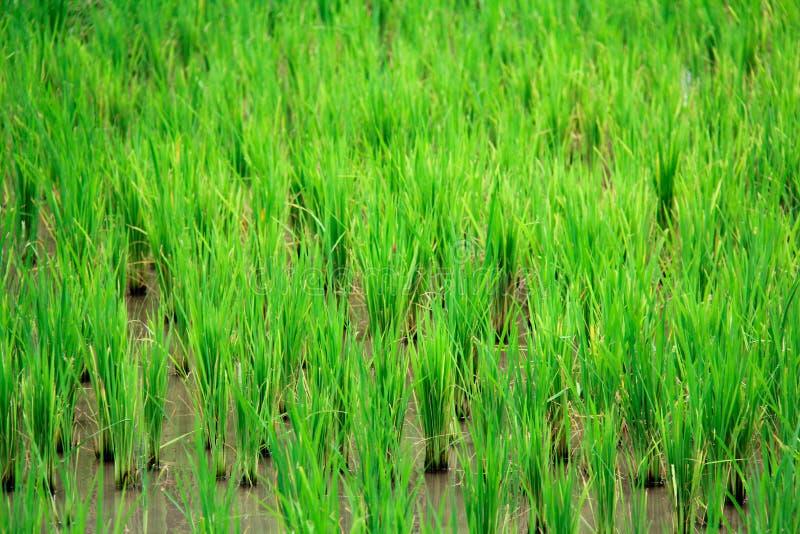 O verde do campo de milho na cidade fotografia de stock royalty free