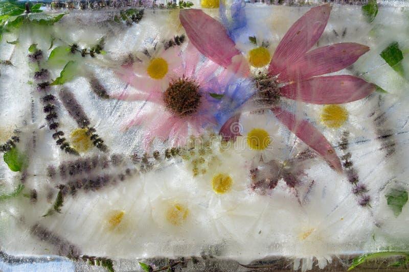 O verde do fundo sae da hortelã, e da flor da chicória, camomila, Echinacea congelado no gelo fotos de stock