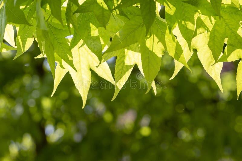 O verde fresco deixa o fundo com a folha borrada abstrata e a luz solar brilhante do verão imagens de stock royalty free