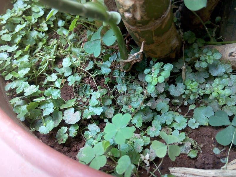O verde fresco sae no potenciômetro e nas raizes da lama imagens de stock