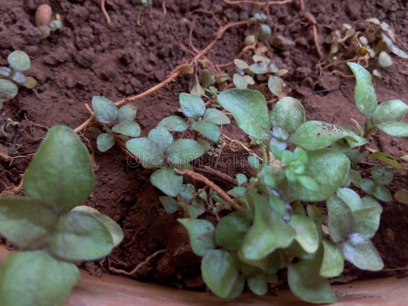 O verde fresco sae no potenciômetro e nas raizes da lama fotografia de stock