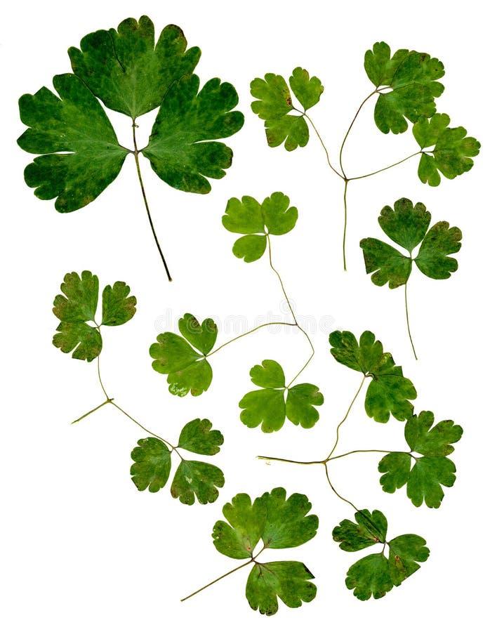 O verde multicolorido pressionado delicado seco ajustado de Aquilegia sae foto de stock royalty free