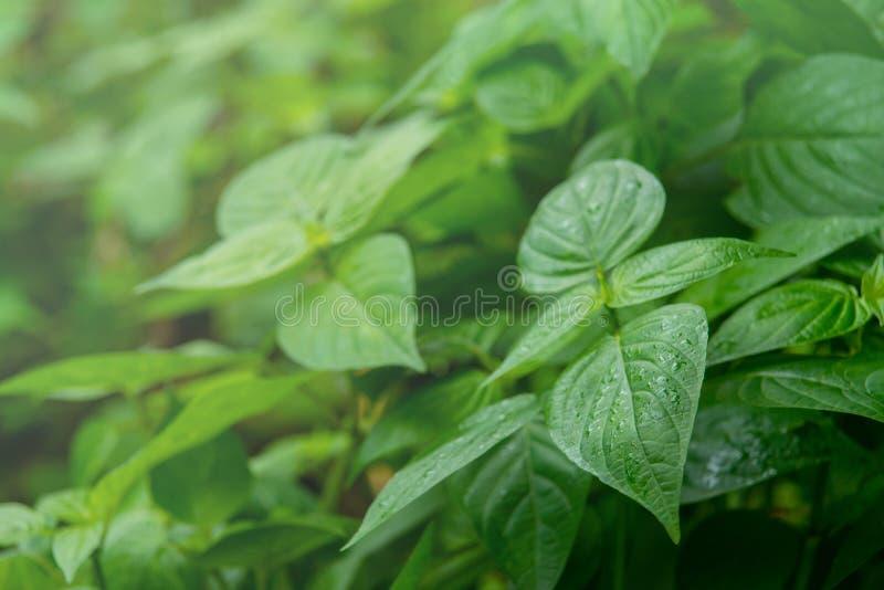 O verde natural sae com as gotas da água na floresta imagens de stock royalty free