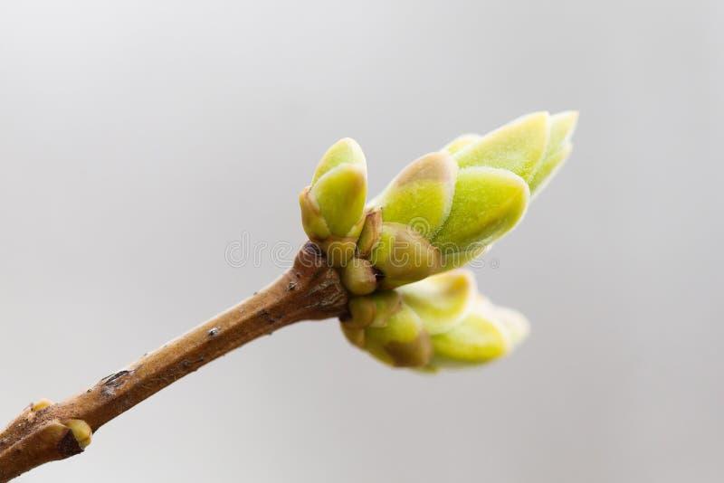 O verde novo de brotamento do galho da árvore deixa a vista macro, foco seletivo Natureza macia da primavera no jardim Bonito fotografia de stock