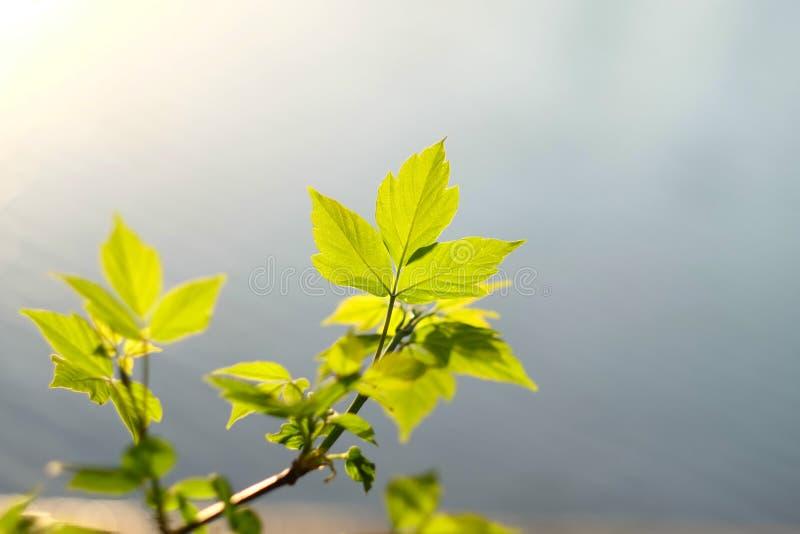 O verde sae à superfície da àgua imagem de stock royalty free
