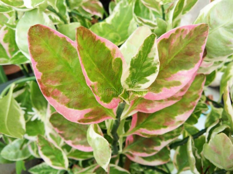 O verde sae com a borda do rosa da Deslizador-flor, cacto de Redbird, árvore de Judeu-Bush foto de stock royalty free