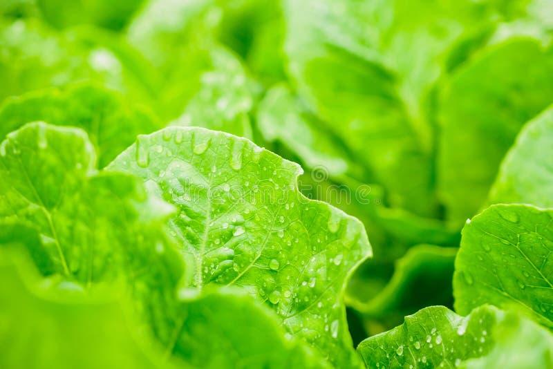 O verde sae da planta da salada da alface de alface romana de cos no sistema de explora??o agr?cola dos vegetais da hidroponia imagens de stock royalty free