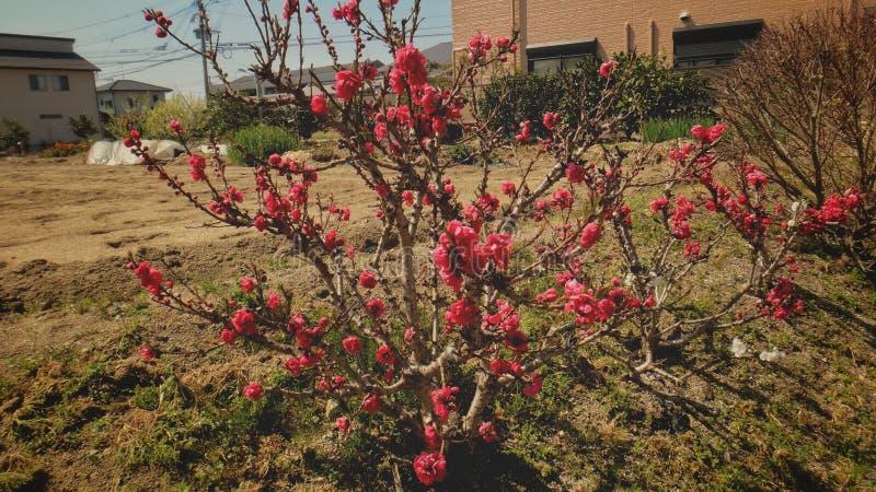 O vermelho bonito floresce a árvore fotos de stock royalty free