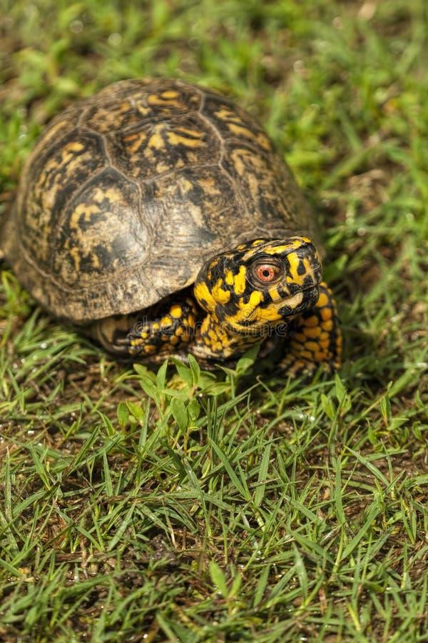 O vermelho de Alabama Eyed a tartaruga de caixa masculina 3 - Terrapene carolina fotografia de stock