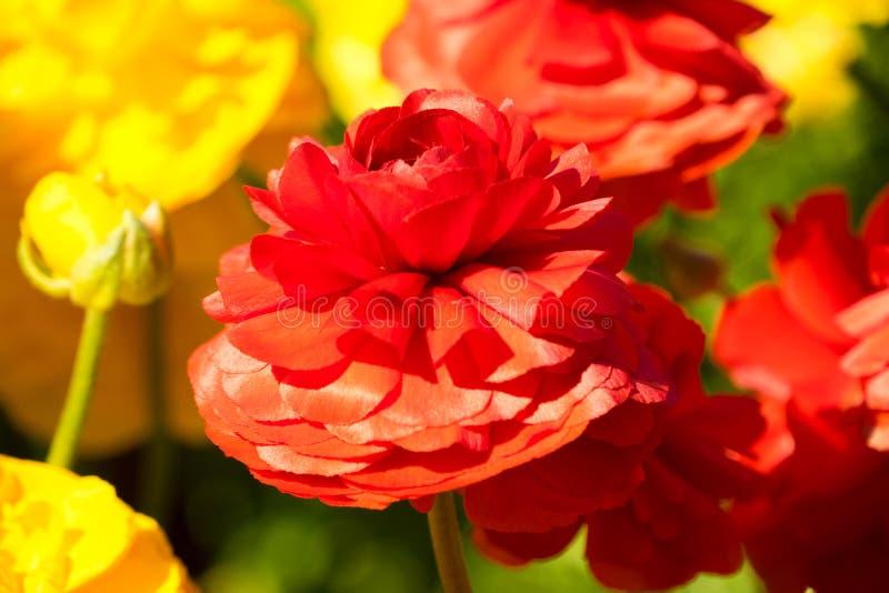 O vermelho e o ranúnculo amarelo Toowoomba da reentrância florescem o festival fotografia de stock