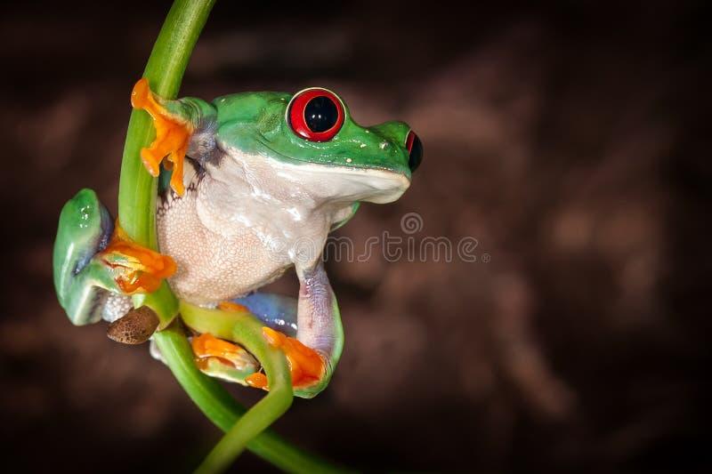 O vermelho eyed a ioga das rãs de árvore na haste fotografia de stock royalty free