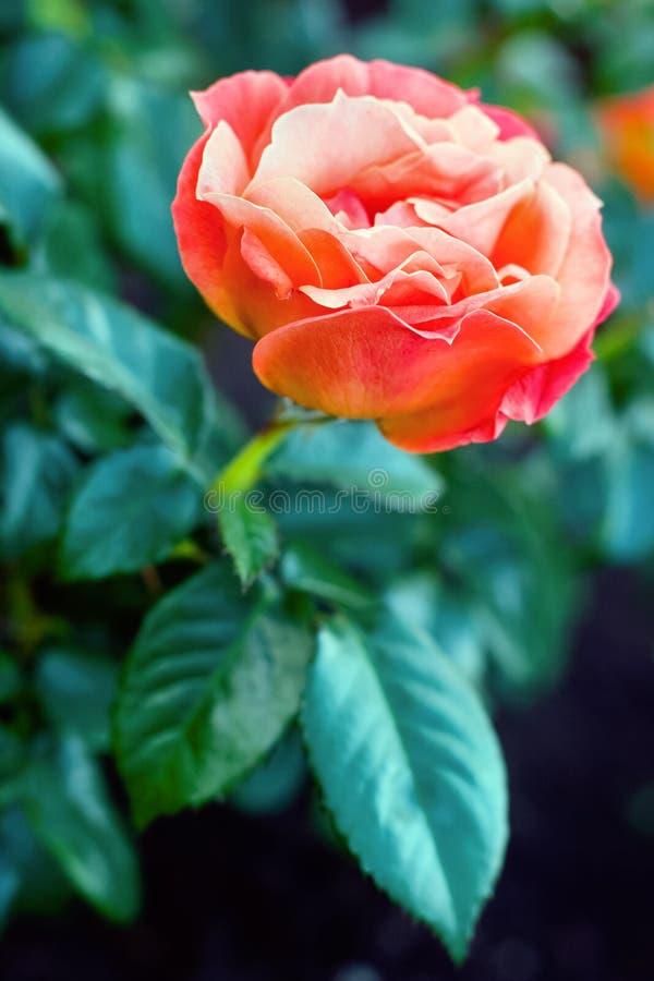 O vermelho grande aumentou em um arbusto com folhas fotos de stock royalty free