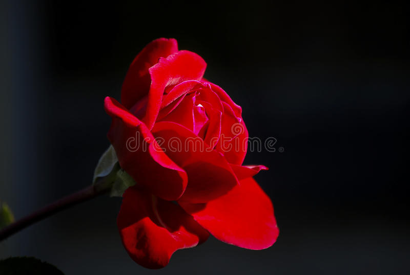Download O vermelho levantou-se foto de stock. Imagem de levantou - 26512958