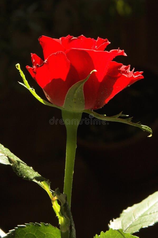 Download O vermelho levantou-se foto de stock. Imagem de paixão - 528526